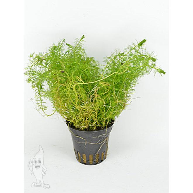 Myriophyllum guyana