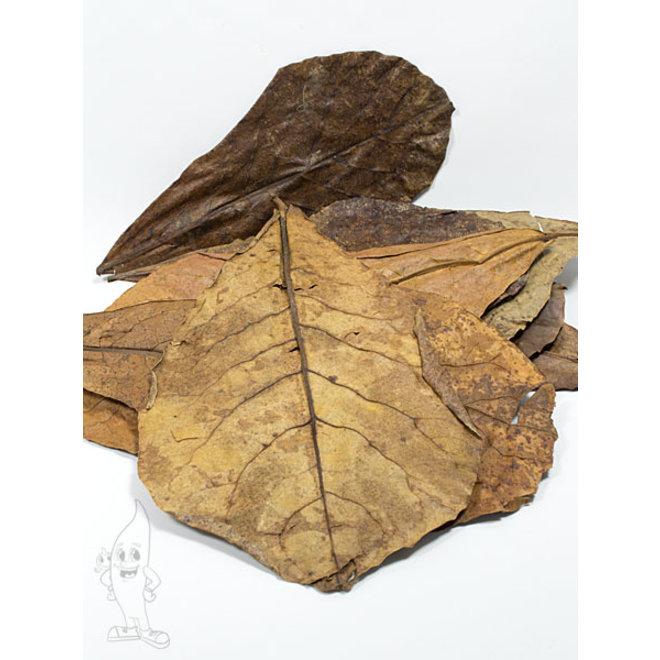 Catappa Leaves XL, 25 amandelboom bladeren