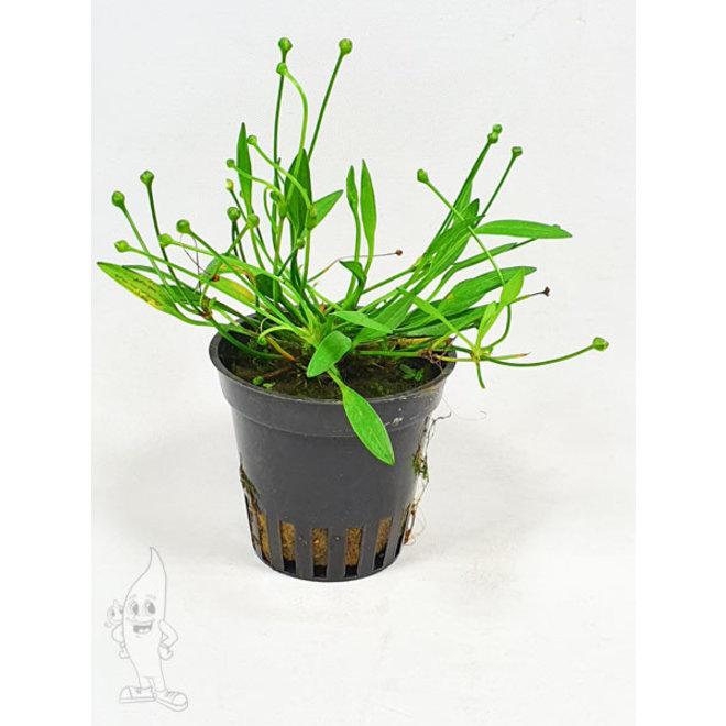 Helanthium tenellum (Echinodorus tenellus)