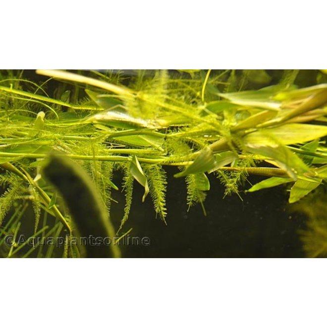 Hygroryza aristata