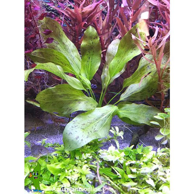 Echinodorus groene ozelot