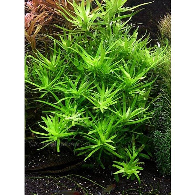Heteranthera zosterifolia (sterrenkruid)