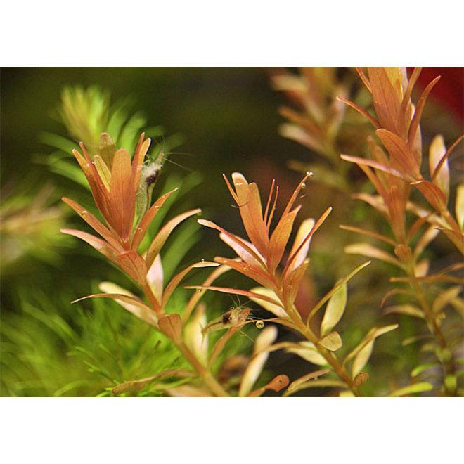 "Rotala rotundifolia ""Orange Juice"""