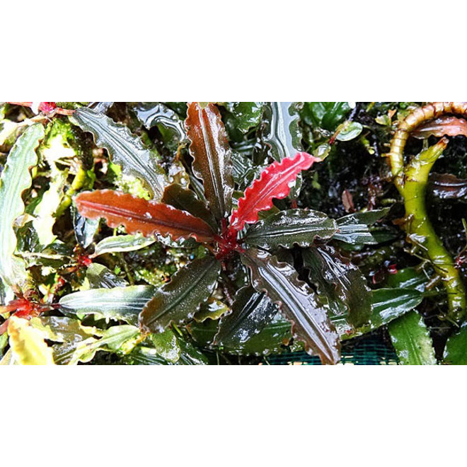 Bucephalandra biblis red