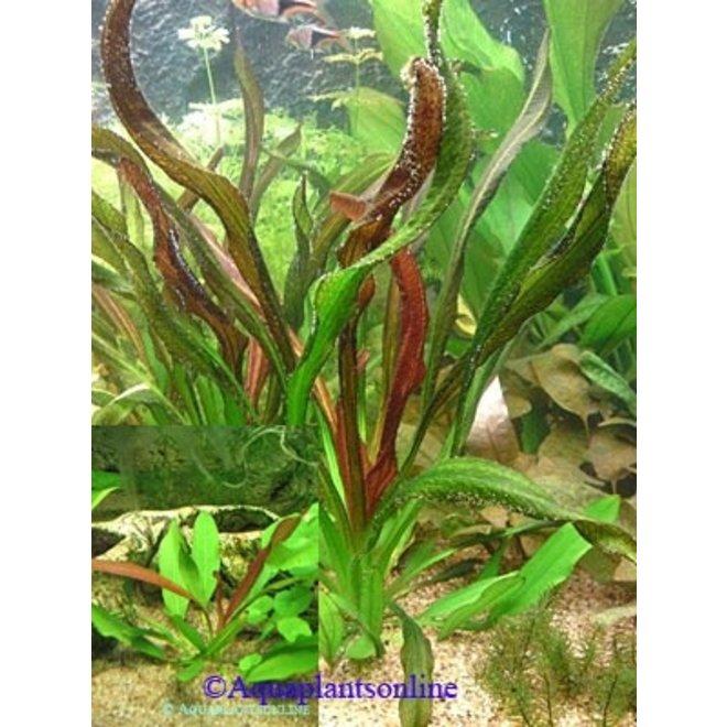 Echinodorus red devil