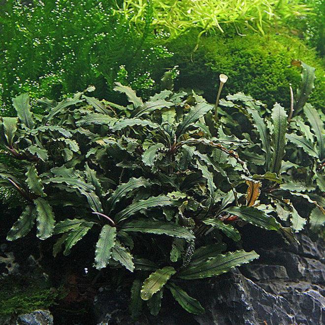 Bucephalandra wavy leaf, invitro bakje