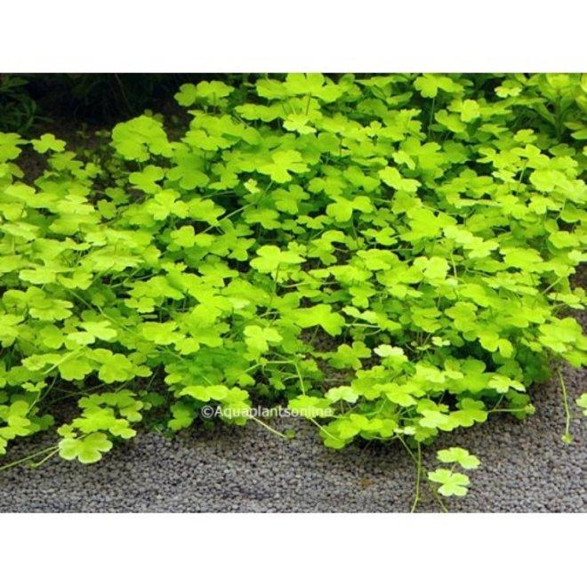 "Hydrocotyle tripartita ""Japan"""