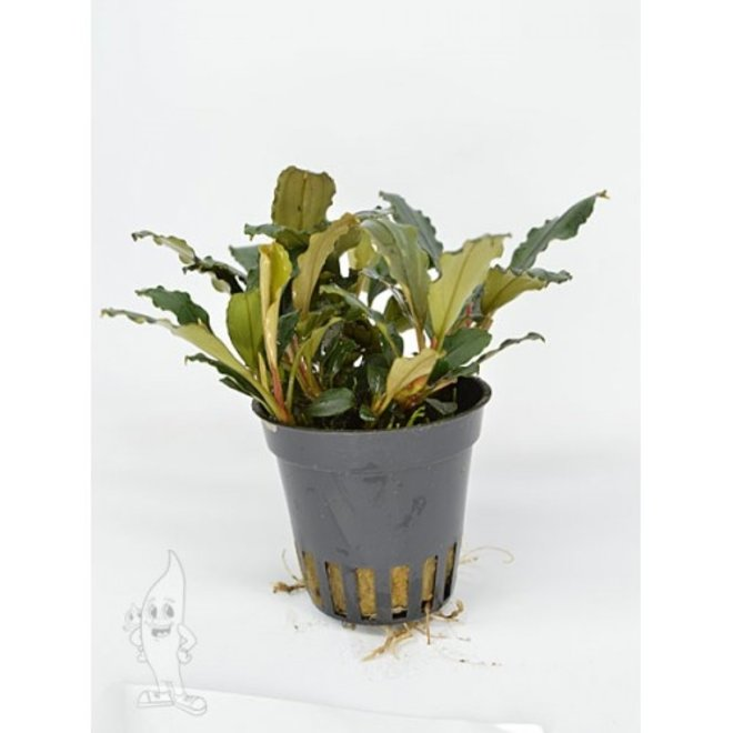 Bucephalandra blue green