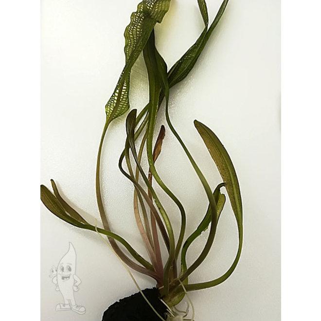 Aponogeton Henkelianus smalle gaasplant