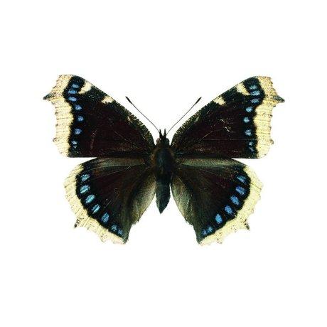 KEK Amsterdam Muursticker vlinder Butterfly 957 wit bruin blauw 17x11cm