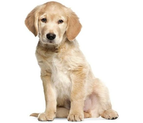 KEK Amsterdam Muursticker XL Golden Retriever puppy 91x117cm