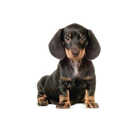 KEK Amsterdam Muursticker Teckel puppy 17x23cm