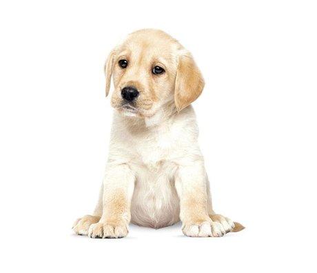 KEK Amsterdam Muursticker Labrador puppy 24x28cm