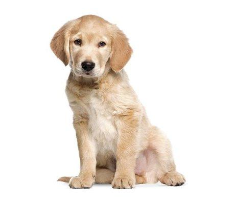 KEK Amsterdam Muursticker Golden Retriever puppy 34x43cm