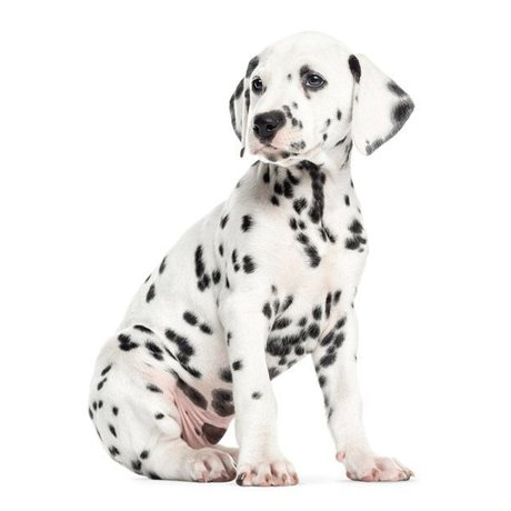 KEK Amsterdam Muursticker Dalmatiër puppy 31x43cm