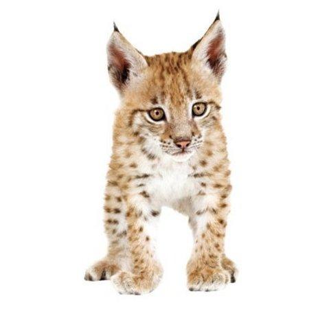 KEK Amsterdam Muursticker lynx bruin vinyl 19 x 35 cm, Safari Friends Lynx cub