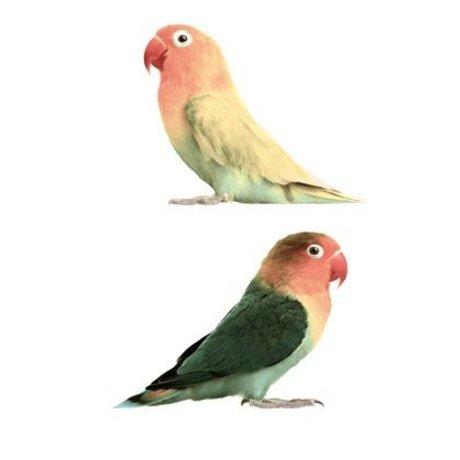 KEK Amsterdam Muursticker agapornis vinyl multicolour 23x17cm, Safari Friends Lovebirds