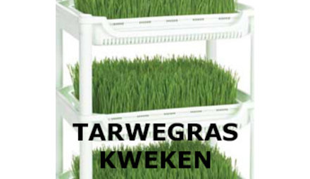 Growing wheatgrass yourself