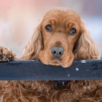 Waarom eet mijn hond poep (ontlasting)?