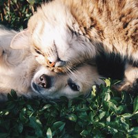 CBD olie: goed voor hond en kat