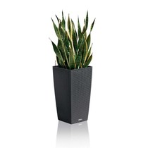 Lechuza Sansevieria in Zelfwatergevende Cottage