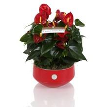 Tafel Anthurium rood
