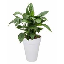 Elho Lepelplant in Witte Elho pot