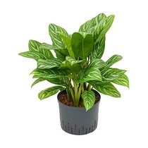 Hydroplant Aglaonema stripes