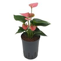 Hydroplant Anthurium sweet dream