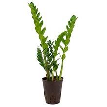 Hydroplant Zamioculcas zamiifolia