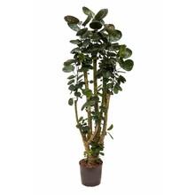 Hydroplant Aralia (polyscias) fabian