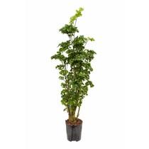 Hydroplant Aralia (polyscias) roble