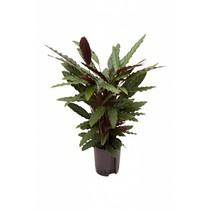 Hydroplant Calathea rufibarba