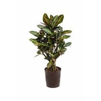 Hydroplant Croton (codiaeum) petra