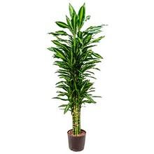 Hydroplant Dracaena cintho