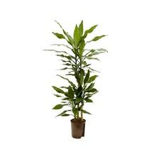 Hydroplant Dracaena fragrans