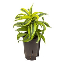 Hydroplant Dracaena lemon surprise