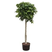 Hydroplant Ficus benjamina columnar
