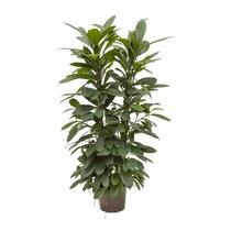 Hydroplant Ficus cyathistipula