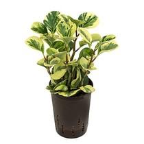 Hydroplant Peperomia green gold variegata