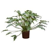 Hydroplant Philodendron xanadu