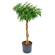 Hydroplant Schefflera