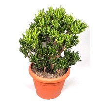 Crassula Horntree Bush