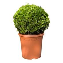 Buxus sempervirens M