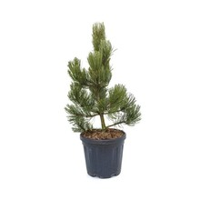 Pinus Heldreichii Satellit S