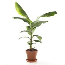 Bananenplant in Terra Cotta pot