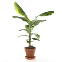 Bananenplant in terracotta pot