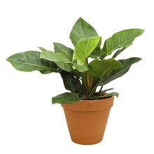 Philodendron in Terra Cotta pot