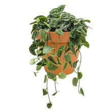 Scindapsus hang in Terra Cotta pot