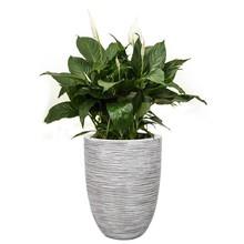 Capi Capi | Spathiphyllum